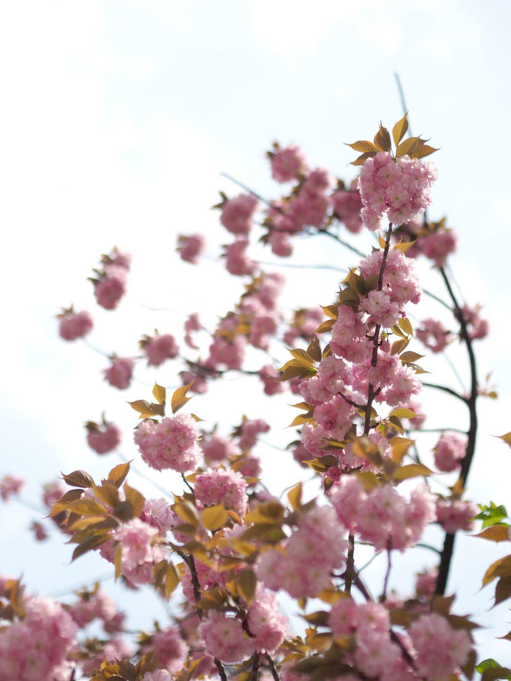 kirsikankukat1.jpg