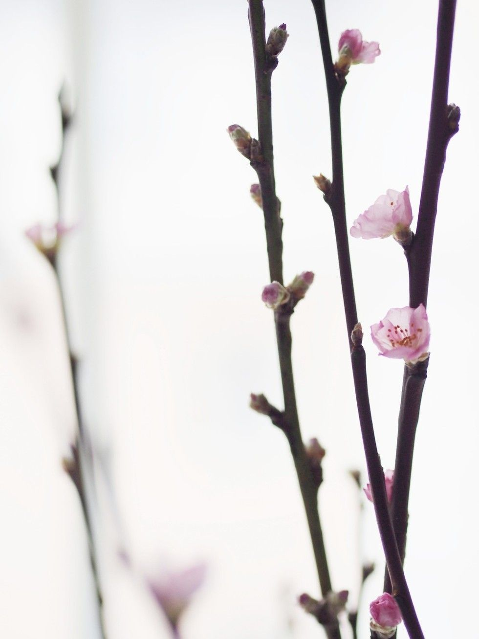 kirsikka2.jpg